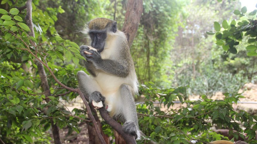 TOP SIX TOURS OF BARBADOS monkey